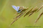 Male Common blue butterfly sunbasking on grass flowers, Corsham, Wiltshire. June 2009.