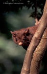 Red giant flying squirrel, Taiwan. May 2003.